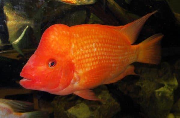 «Красный дьявол» аквариумная рыбка