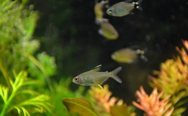 Лимонная тетра - прекрасная рыбка в аквариуме