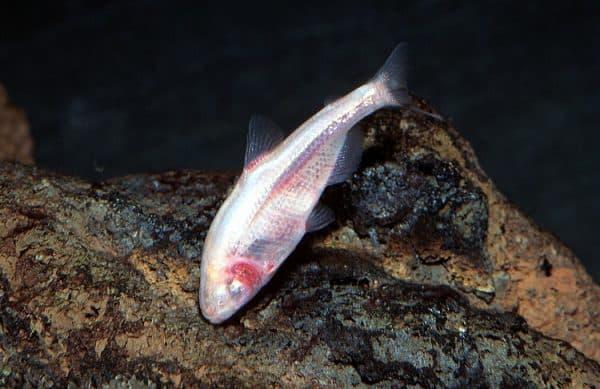 Мексиканская слепая рыба фото