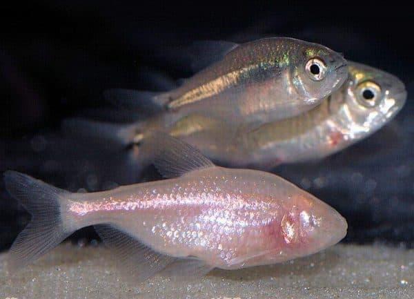 Мексиканская слепая рыба на фото