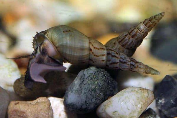 Мелания улитка в аквариуме