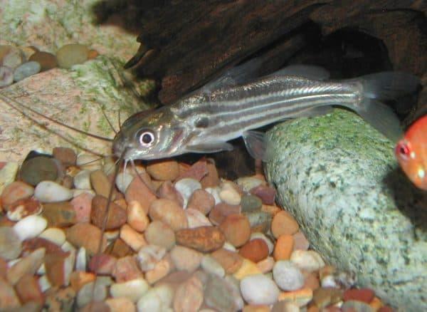 Мистус полосатый - сомик в аквариуме