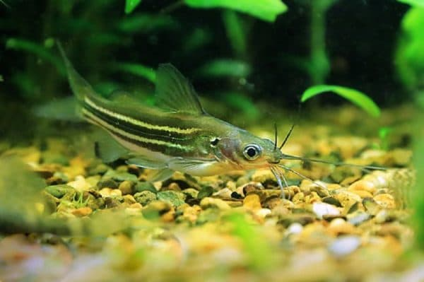 Мистус полосатый - удивительный сомик в аквариуме
