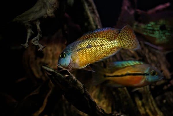 Никарагуанская цихлазома - красивая рыбка