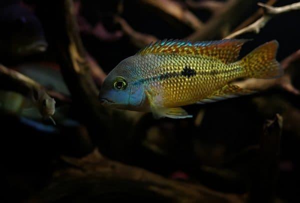 Никарагуанская цихлазома - удивительная рыбка
