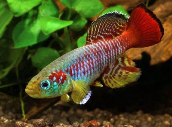 Нотобранхиус - прекрасная рыбка в аквариуме