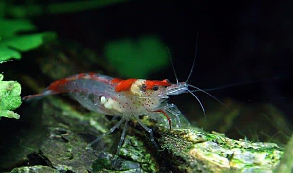 Оборудование аквариума для размножение креветок