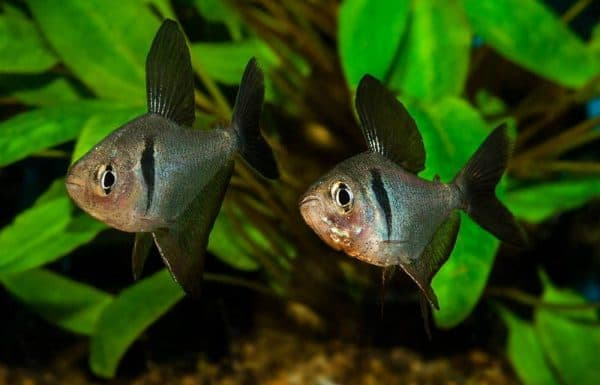 Орнатус - красивая рыбка в аквариуме