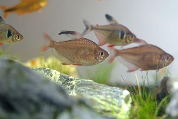 Орнатус - прекрасная рыбка