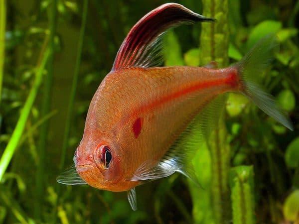 Орнатус - прекрасная рыбка в аквариуме