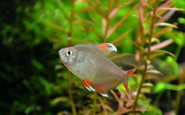 Орнатус - рыбка в аквариуме