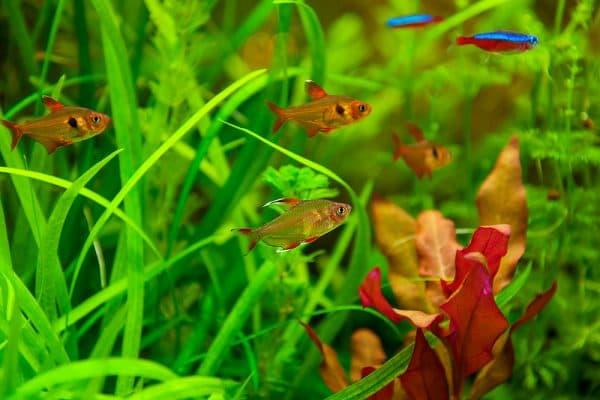 Орнатус - удивительная рыбка