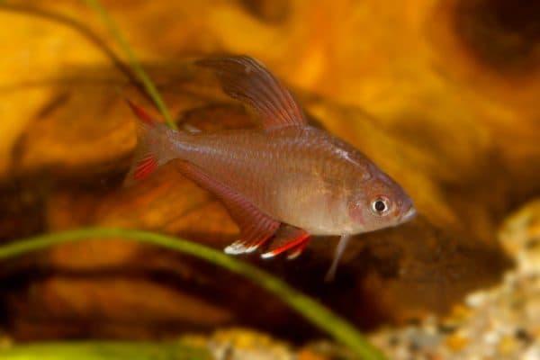 Орнатус - удивительная рыбка в аквариуме