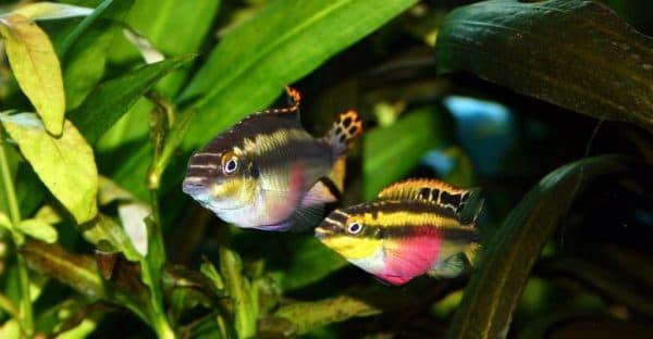 Пельвикахромис пульхер - красивая рыбка
