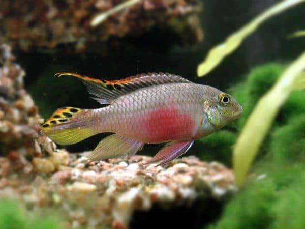 Пельвикахромис пульхер - прекрасная рыбка в аквариуме