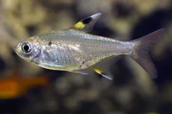 Пристелла - прекрасная аквариумная рыбка