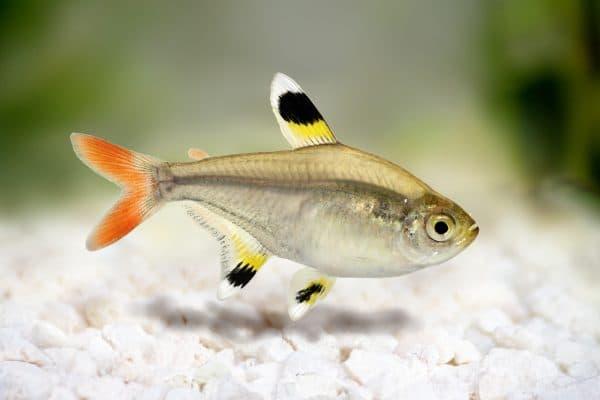 Пристелла в аквариуме