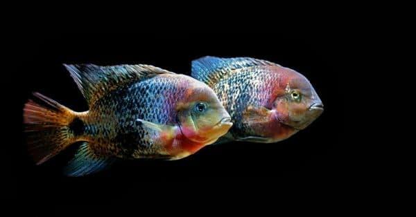 Радужная цихлазома - аквариумная рыбка