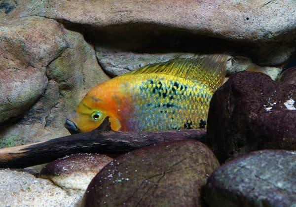 Радужная цихлазома - прекрасная аквариумная рыбка