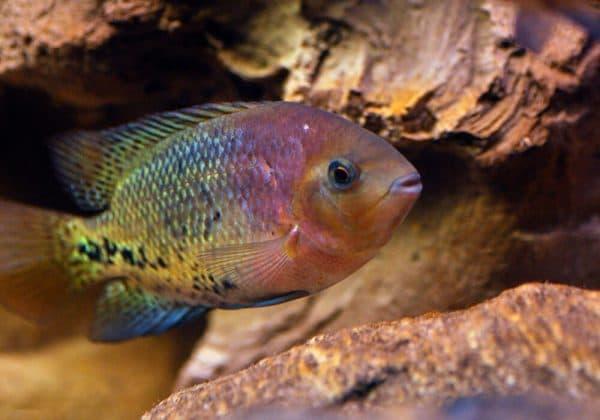 Радужная цихлазома - удивительная аквариумная рыбка