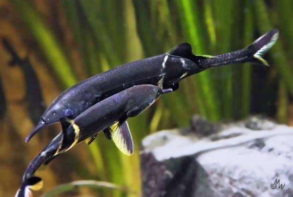 Рыба-слон - прекрасная рыбка в аквариуме
