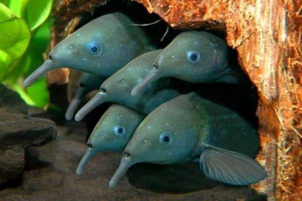 Рыба-слон - удивительная рыбка