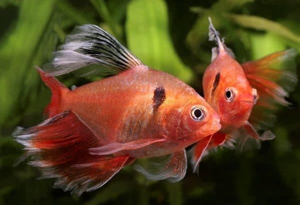 Серпас - красивая рыбка