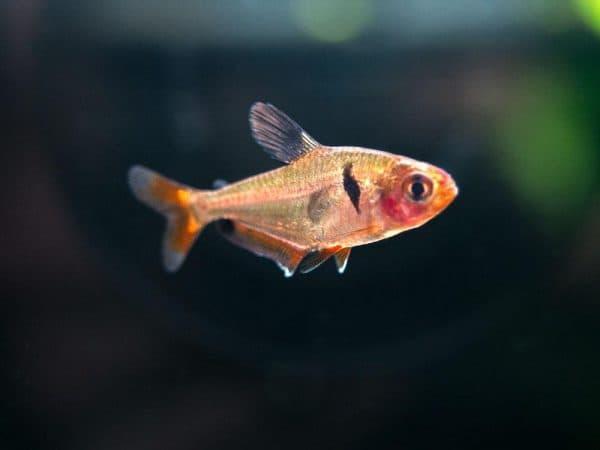 Серпас - прекрасная рыбка в аквариуме