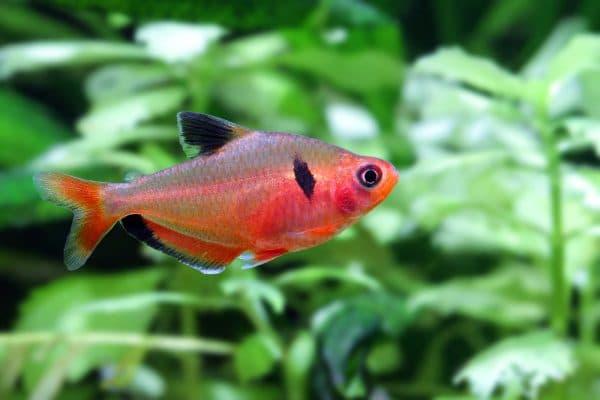 Серпас - рыбка в аквариуме