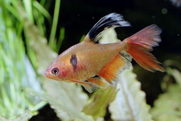 Серпас - удивительная рыбка в аквариуме