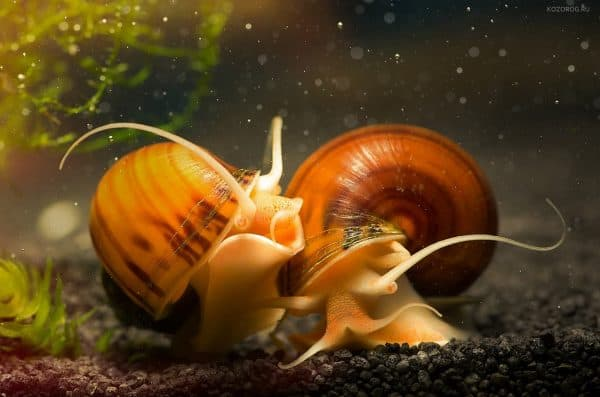 Сколько живут улитки в аквариуме