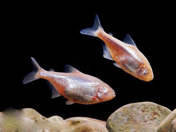 Слепая пещерная рыба нерест