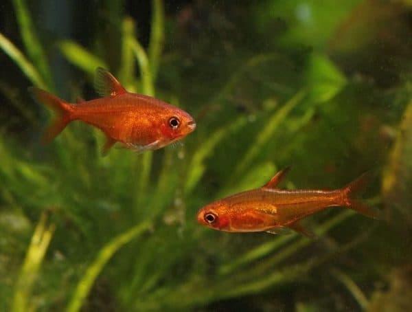 Тетра Аманда - красивая рыбка