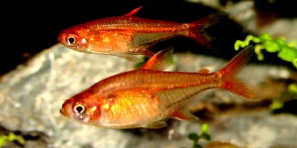 Тетра Аманда - красивая рыбка в аквариуме