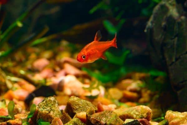 Тетра Аманда - рыбка в аквариуме