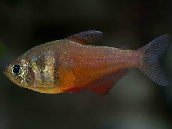 Тетра фон рио - красивая рыбка