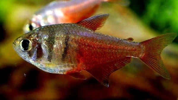 Тетра фон рио описание рыбки
