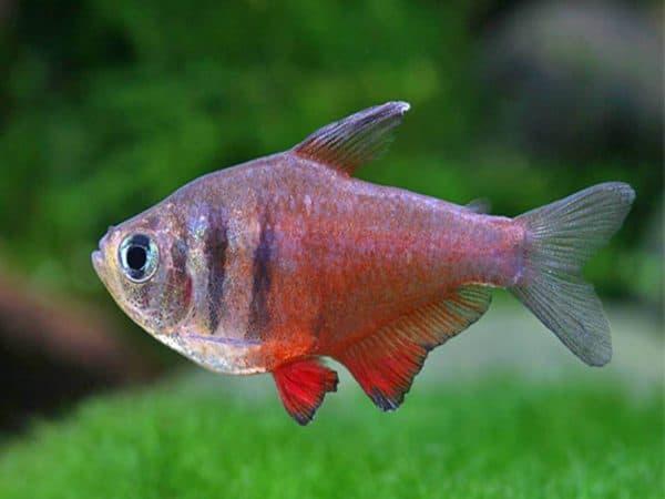Тетра фон рио плавает в аквариуме