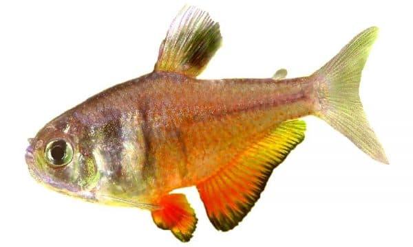 Тетра фон рио - прекрасная рыбка