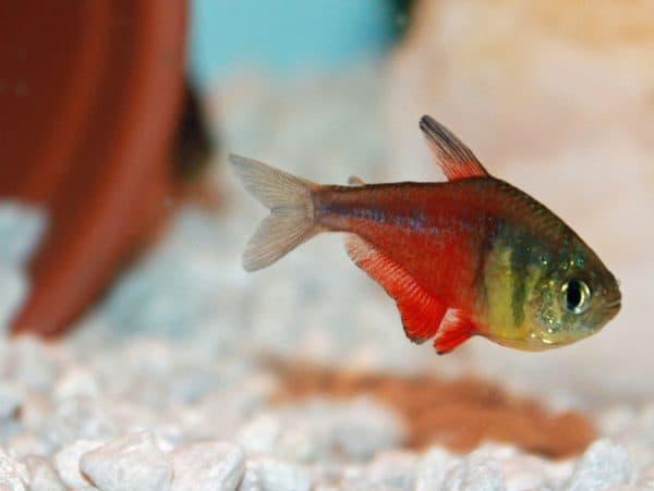 Тетра фон рио - удивительная рыбка