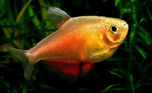 Тетра фон рио - удивительная рыбка в аквариуме