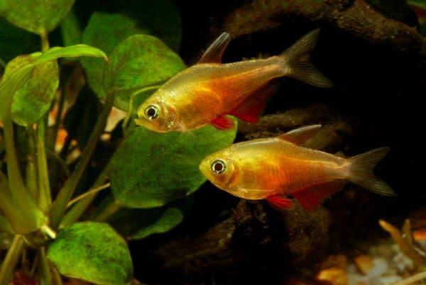 Тетра фон рио в аквариуме
