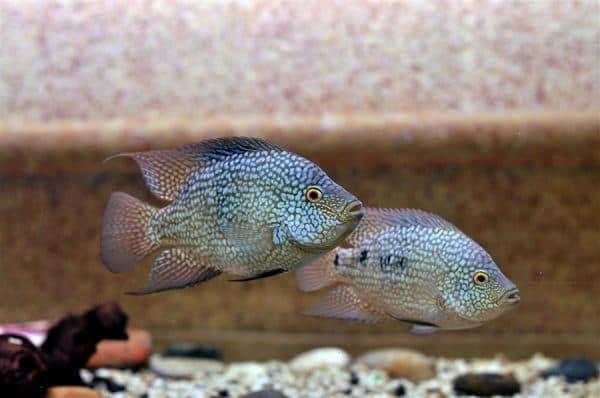 Устройство аквариума для бриллиантовой цихлазомы