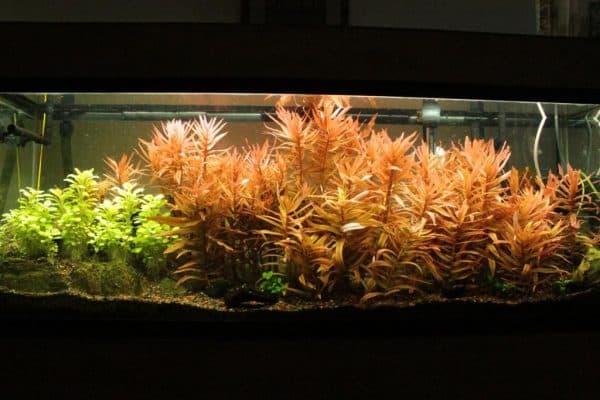 Аммания - прекрасное растение для аквариуме