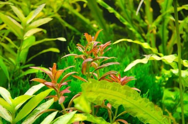 Аммания - прекрасное растение в аквариуме