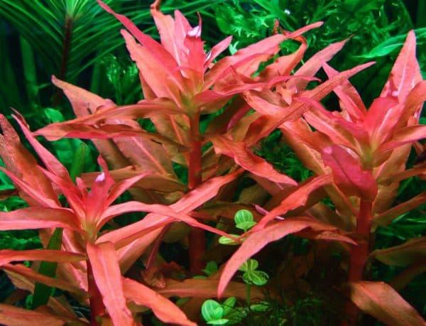Аммания - удивительное растение для аквариуме