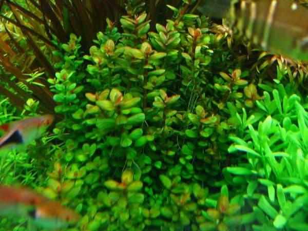 Аммания в аквариуме