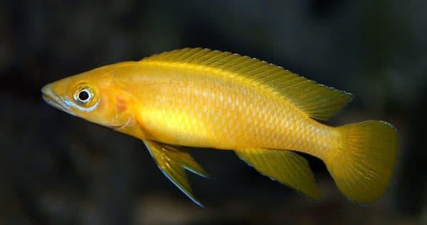 Апельсиновый лампрологус