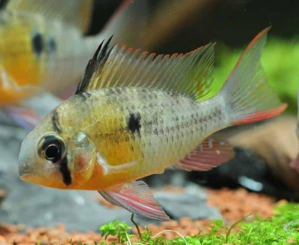 Бабочка боливийская - красивая рыбка