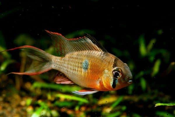 Бабочка боливийская - прекрасная рыбка в аквариуме